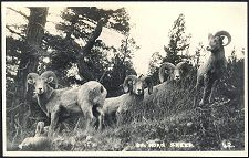 Big Horn Sheep. 42(c).