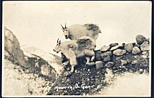43(c). Mountain Goat.