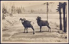 586(a). Mountain Sheep on Auto Road.