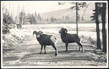 586(b). Mountain Sheep on Highway