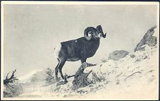 626(a). Mountain Sheep.