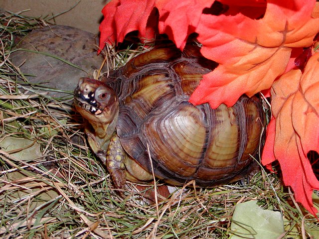 Be, the box turtle, featured photo #4 (120K)