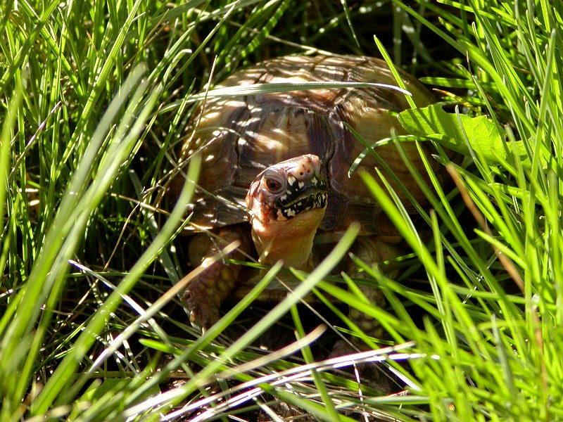 Be the Box Turtle 3-28-2003 800x600 (179K)